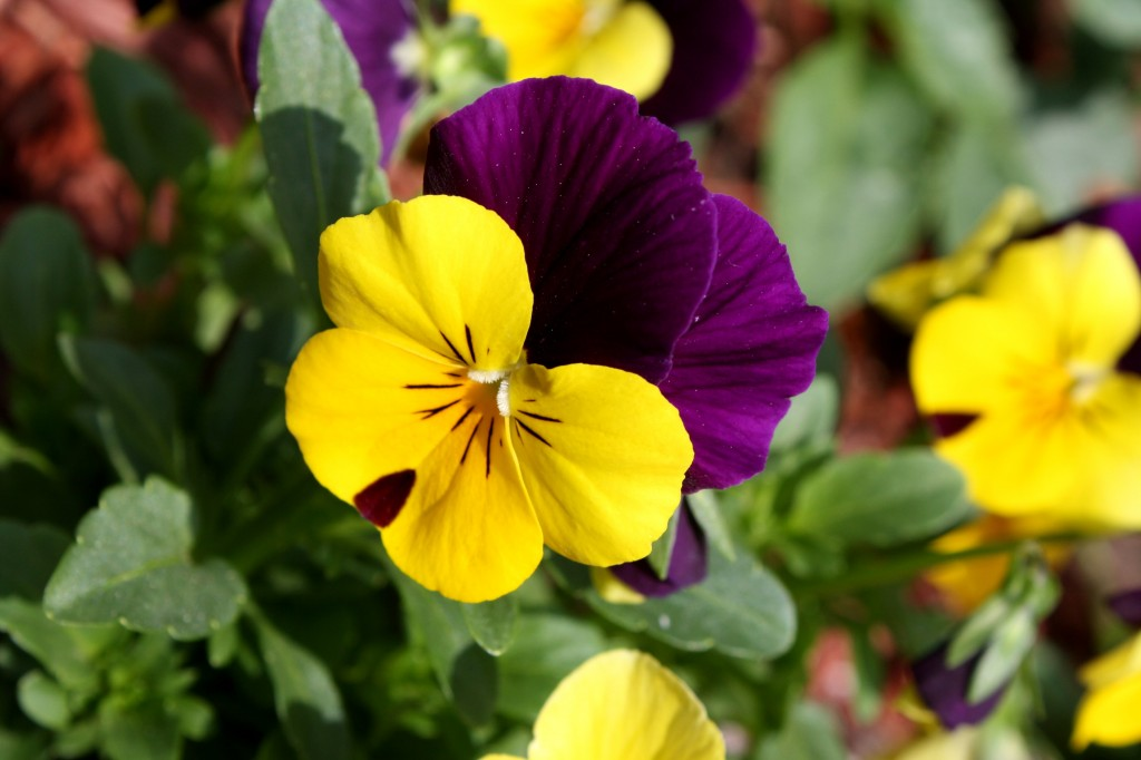Viola tricolor pansy via Wikipedia